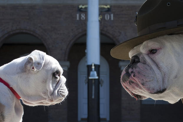 Washington District of Columbia United States - Sgt. Chesty XIII, official mascot of the U.S. Marine Corps, right, stares down his successor Recruit Chesty, left, during training at Marine Barracks Washington, D.C., March 20, 2013.  (U.S. Marine Corps/Dengrier Baez)