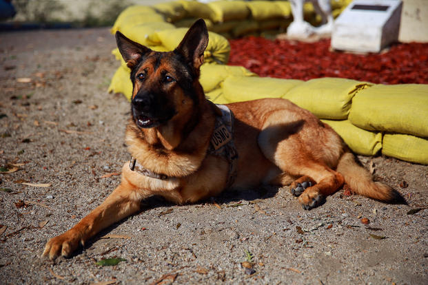 Lucca, a 12-year-old retired Marine Corps military working dog, visits Camp Pendleton Feb. 29, 2016. Before her retirement in 2012, Lucca completed two deployments to Iraq and one to Afghanistan where she led approximately 400 patrols until she was injured by an improvised explosive device. No Marines were injured on any patrol she led, including her final patrol where the explosion cost Lucca her front left leg. Lucca received the Dickin Medal, a European award that acknowledges outstanding acts of bravery