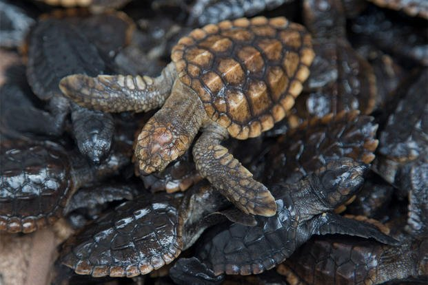 Loggerhead sea turtle hatchlings are packed into containers at the Gumbo Limbo Nature Center before being taken to a U.S. Coast Guard vessel for release, Monday, July 27, 2015, in Boca Raton, Fla. (AP Photo/Wilfredo Lee)