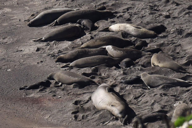 Baby elephant seals lay next to their mothers on a south base beach, Jan. 26, 2017, Vandenberg Air Force Base, Calif. (U.S. Air Force photo/Senior Airman Ian Dudley)