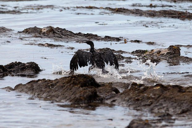 In this May 21, 2015, file photo, an oil-covered bird flaps its wings at Refugio State Beach, north of Goleta, Calif.  (AP Photo/Jae C. Hong, File)