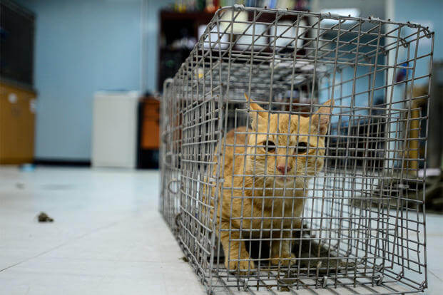 A stray cat crouches in a cage in Southwest Asia, Sept. 28, 2015. The 463rd Military Detachment Veterinary Service uses a Trap, Neuter, Vaccinate, Return program for feral cats who assist with pest control. (U.S. Air Force/Senior Airman Racheal E. Watson)