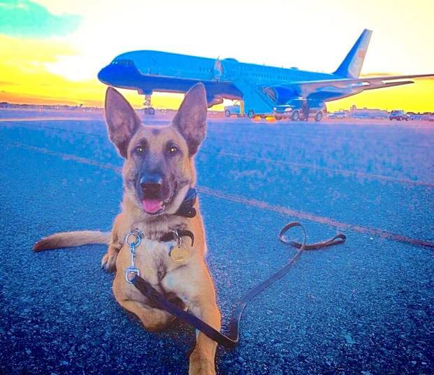 US Secret Service dogs are the frequent fliers of the canine world (photo of Astra courtesy of Kim K.).
